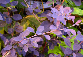 Violet leafs by VanoNTP