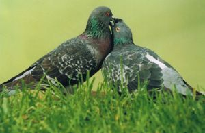 Two Pigeons by Shardel