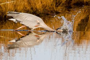 Heron Fishing 2 by bovey-photo