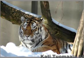 Amur tiger - enjoy in the sun by katikat