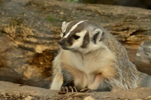 Cute Badger 1 by DarkBeforeDawn23
