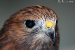Red-tailed hawk by NTamura