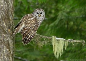 Barred Owl by TricksyWeasel