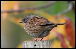 dunnock2 by 21711
