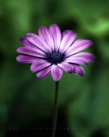 African Daisy by TruemarkPhotography
