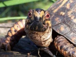 Eastern Box Turtle by LacunaCobra