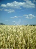Wheat Field by SEspider