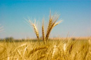 Standing wheat by likhalid