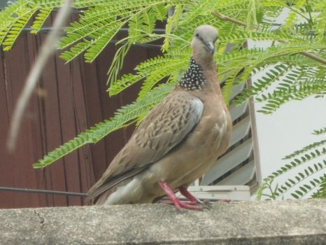 Spotted Dove2 by umpiya