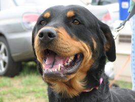Rottweiler by solefield