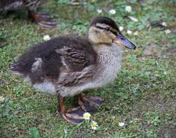 Duckling 1 by BlonderMoment