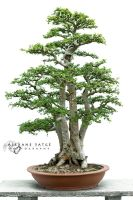 Bonsai by Selene-Emotion
