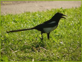 Melodious magpie by Fiamella