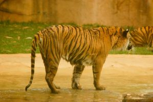 96 Wet tiger by Chunga-Stock