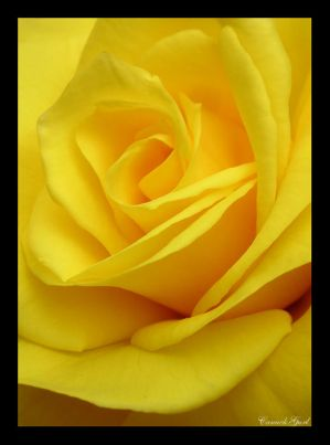http://th01.deviantart.com/fs11/300W/i/2006/193/5/0/Yellow_Rose_by_canuckgurl22.jpg