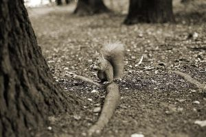 Squirrel. by CRuS23
