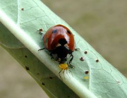 Aphid for lunch by duggiehoo