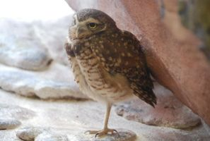 Stock Burrowing Owl by LightInAugust