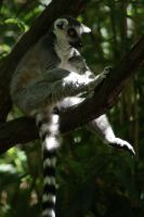 King Julien by MicWits101