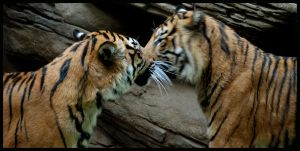 tiger: blurred kiss by morho