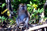 Long-tailed Grey Macau Monkey II by DavidGrieninger