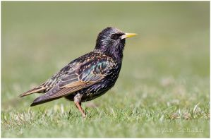 European Starling by Ryser915