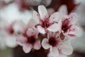 Cherry Blossoms 6 by sd-stock