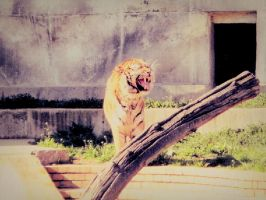 Tiger by stasiabv