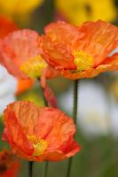 Orange Poppies by Mikelyjohnsono
