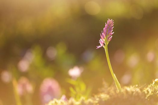 Orchis coriophora by PauloALopes