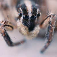 little jumping spider by RobbyP