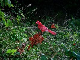 Red Cardinal by FairieGoodMother