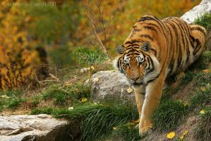 Autumn Tiger by Sagittor