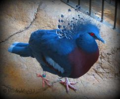 Victorian Crowned Pigeon by Michies-Photographyy