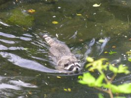 Swimming Raccoon by greent