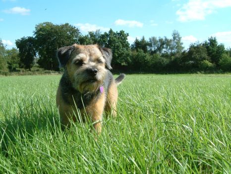 Border Terrier by satch123