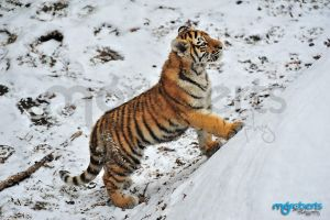 Amur Tiger Cub 5273 by mgroberts