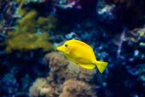 Yellow Tang by trinity343