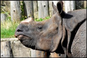 Indian One-Horned Rhino by snappyhappy