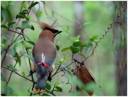 Cedar Waxwing by PhotoDow