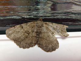Willow Beauty Moth, from Other Side of Window by SrTw