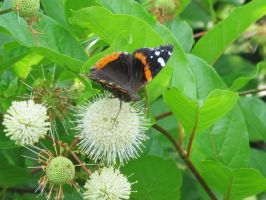 Red Admiral Butterfly on Buttonbush 10 by Windthin