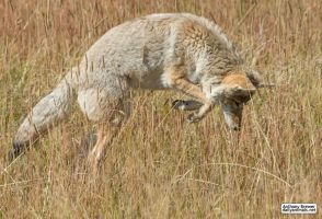 Coyote pounce by jaffa-tamarin