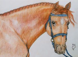 Horse portrait 2 by Sandra-Cooper