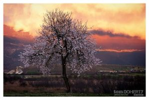 Almond Blossom by PicTd