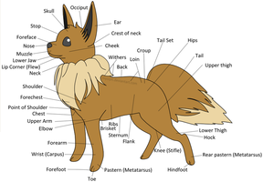 Eevee Anatomy by Myoijin