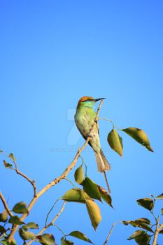 Green Bee Eater Bird with Blue Sky by fotonium