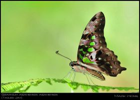 Graphium agamemnon agamemnon I by log1t3ch