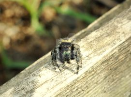 Jumping Spider by GrimFay