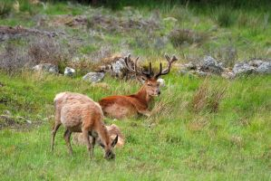 A red deer family outing by Rajmund67